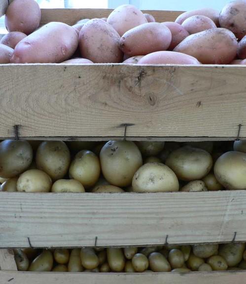 Pommes_de_terre_1