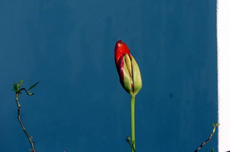 Tulip_tulipe