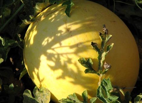 Yellow_watermelon_pastque_jaune